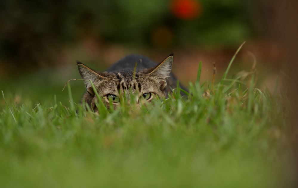 Tabby prowling