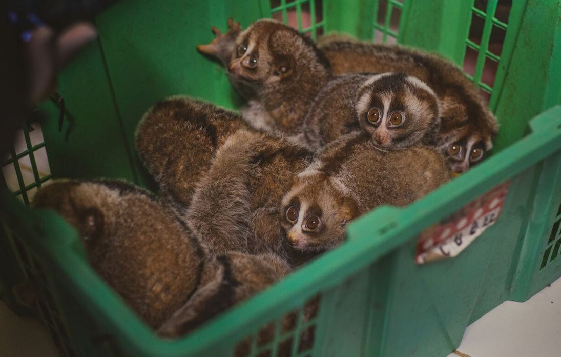 Slow lorises in captivity